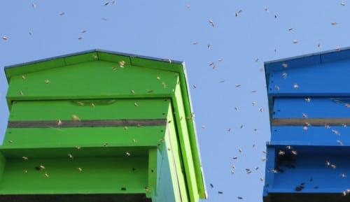 Ouverture des ruchers d'Hygiène Office et de Bepox. Les abeilles élevées en montagne sont libérées.