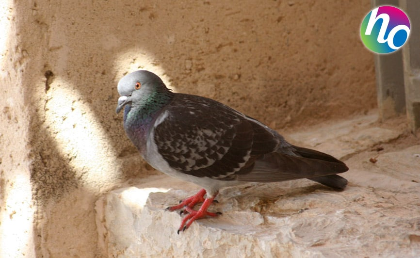 Pigeons, Hygiène Office
