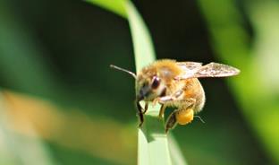 Une ouvrière chargée de pollen