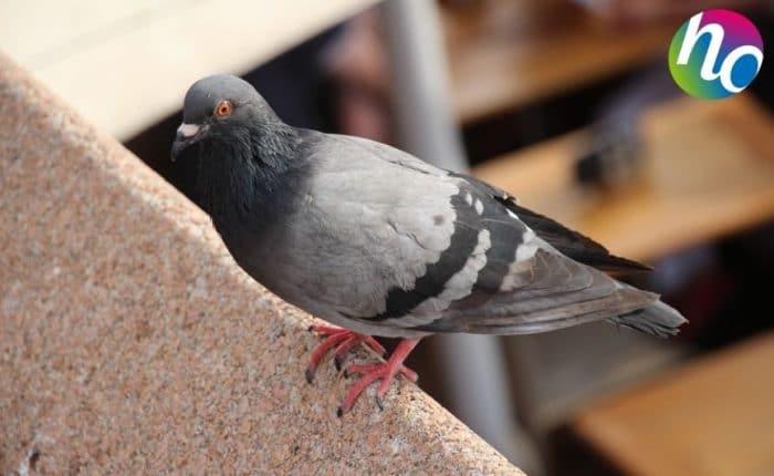 Eloignement pigeons