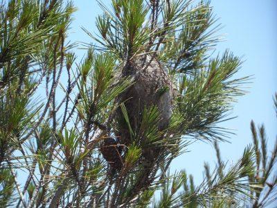 vue de loin nid chenille processionnaire